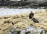 Seeadler und Nebelkrähe am Toppsundet, Haliaeetus alibicilla, Corvus corone