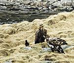 White-tailed Eagles and Carrion Crow at Toppsundet, Haliaeetus alibicilla, Corvus corone
