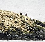 White-tailed Eagels at Toppsundet, Haliaeetus alibicilla