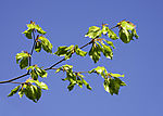 Beech tree leaves in spring, Fagus sp.