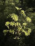 Ahornblätter im Frühling, Acer sp.