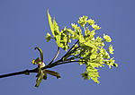 Maple tree leaves in spring, Acer sp.