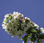 Apple tree blossoms, Malus sp.