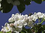 Apfelblüten und Honigbiene, Malus sp., Apis mellifera