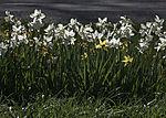Osterglocken Blüten, Narcissus sp.