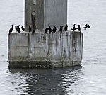 Cormorants and Shags in Risöyhamn, Phalacrocorax carbo, Phalacrocorax aristotelis