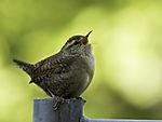Wren singing on fence, Troglodytes troglodytes