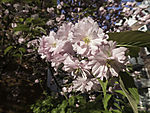 flowering Chery