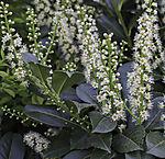 flowering Cherry Laurel, Prunus laurocerasus, Syn.: Laurocerasus officinalis