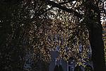 Coppter Beech backlit, Fagus sp.