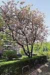 Magnolia in spring, Magolia sp.