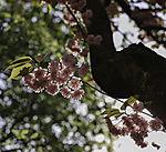 flowering Cherry tree backlit