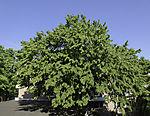European Hornbeam; Carpinus betulus