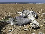 dead Seagull on beach, Larus sp.
