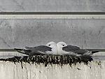 Dreizehenmöwen auf Nest, Rissa tridactyla