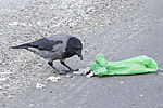 Carrion Crow opens rubbish bag, Corvus corone