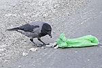 Nebelkrähe öffnet Müllbeutel, Corvus corone