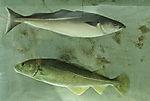 Dorsch und Seelachs im Aquarium, Gadus morhua, Pollachius virens