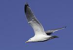 Silbermöwe im Flug, Larus argentatus