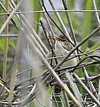 singender Teichrohrsänger; Acrocephalus scirpaceus