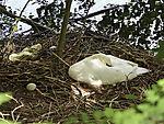 Schwanenei neben Nest, Cygnus olor
