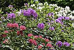 bunte Blüten am Rhododendron