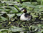 Haubentaucher auf Nest, Podiceps cristatus