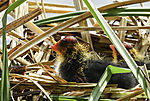 chicks of Bald Coots in nest, Fulica atra