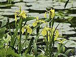 Yellow Iris, Iris pseudacorus