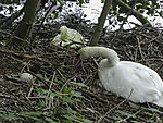 egg of Mute Swan beside nest, Cygnus olor