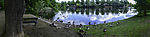 Geese panorama at river Alster