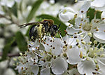 wild Bee on apple blossoms