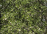 Mandeln am Baum, Prunus dulcis