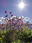 Red Campion und Sonne; Silene dioica