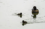 Tufted Duck with chicks, Aythya fuligula