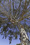 large Eucalyptus tree