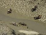 Fiddler Crabs in tidal flats of Marismas del Odiel, Afruca tangeri