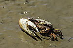 Fiddler Crab in tidal flats of Marismas del Odiel, Afruca tangeri
