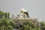White Stork on est with chicks, Ciconia ciconia