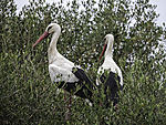 White Storks in tree, Ciconia ciconia