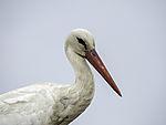 White Stork portrait, Ciconia ciconia