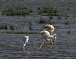 Greater Flamingos looking for food