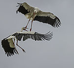 White Storks fighting in tree, Ciconia ciconia