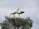 White Storks courtship on nest, Ciconia ciconia