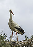 ringed White Stork with chicken, Ciconia ciconia