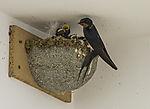 Swallows nest, Hirundo rustico