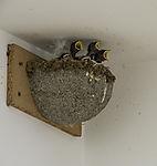 young Swallows in nest, Hirundo rustico