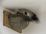 feeding Swallows at nest, Hirundo rustico