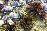 Sea Urchins and Northern Horsemussels