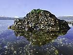 Miesmuschelfelsen, Mytilus edulis